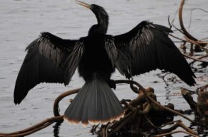 Snakebird Watching Festival in Thailand